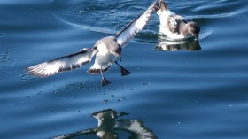 Birds' Keen Sense of Smell Causes Plastic Ingestion