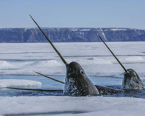 Unicorn Whales' Sonar Secrets: Narwhal Is the World's Best ...