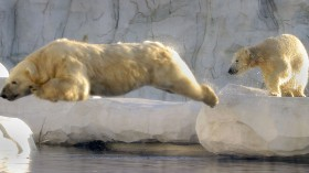 Family of polar bears may have drowned when ice floe they lived on melted