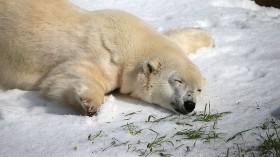 Polar Bears At San Francisco Zoo Get 10 Tons Of Fresh Snow