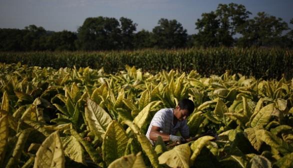 Tobacco Harvesting Underway In Kentucky
