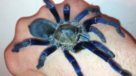 Inspired by the vivid colors of the blue tarantula, scientists have discovered a method to replicate its vibrant color