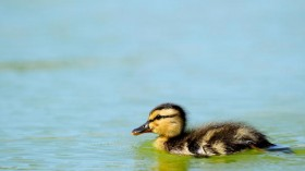 Ducklings have two separate memory banks of visual information