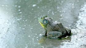 Road salt changes frog population sex ratios