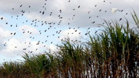 Sugarcane is a potential source of light
