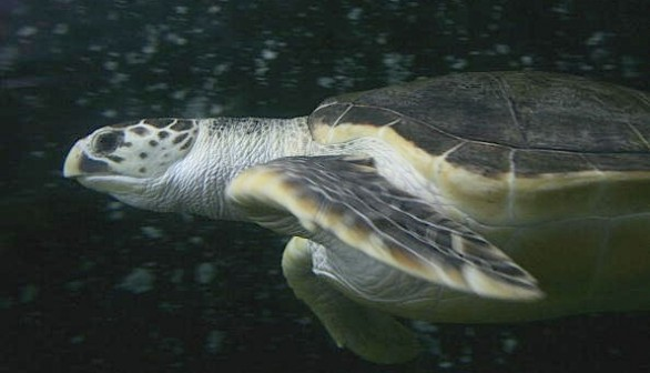 Leatherback turtles have given up their nomadic ways