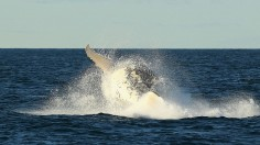 How Do Whales Talk? Whale 'Talking' Different From Singing, Scientists Discover