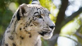 Snow Leopard Cubs on Display at Taronga Zoo