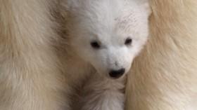 Munich Zoo Presents Twin Polar Bear Babies