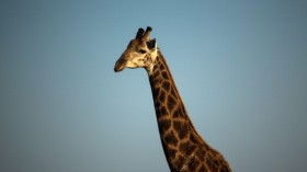Giraffes May Become Extinct, Scientists Say