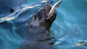 Sea lion predation on salmon poses a serious wildlife challenge
