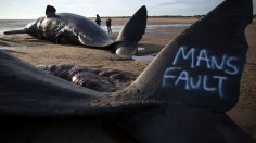 Sperm Whale Found Dead Along Philippine Shores Ingested Too Much Plastic