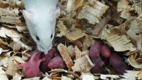 Obese Mice Refuse to Move, Even if They Can - Scientists Unveil Big Mystery Behind Weight Gain