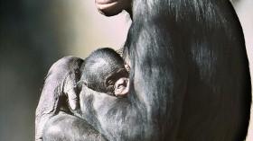 McHumba The Female Pygmy Chimpanzee