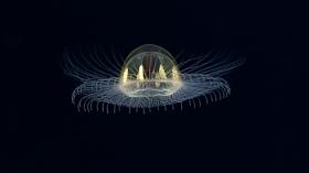 """Cosmic"" Jellyfish on ""Utu"" Seamount, American Samoa"