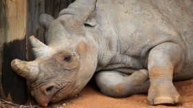 Rhino Translocation Project