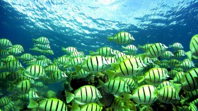 Fish Sing Like Birds, Too - Scientists Record Fish Singing In Chorus In Deep Sea, How Does It Work