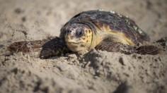 YSea turtle