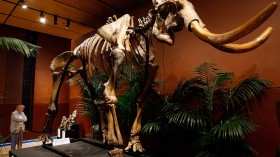 Here Is Why Scientists Do Not Believe Woolly Mammoths Can Be Revived Anytime Soon