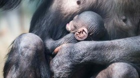Mother Chimpanzee Holds Her Baby