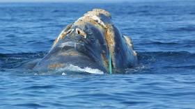 rare North Atlantic right whale