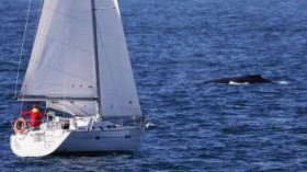 Recreational Vessel Approaches Humpback Whale