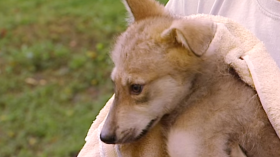 Rare Mexican Wolf Pup
