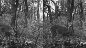 Deer Gnawing Human Remains Caught On Camera For The First Time