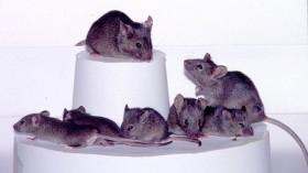 Three Generations Of Cloned Mice