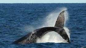 Whale Watching Season Underway In Sydney