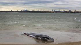 Dead Finback whale