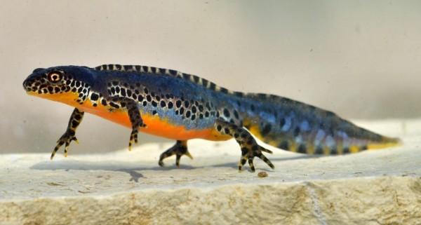Ichthyosaura Alpestris (IMAGE)