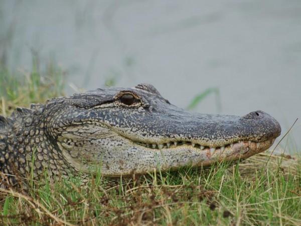 American Alligator (IMAGE)
