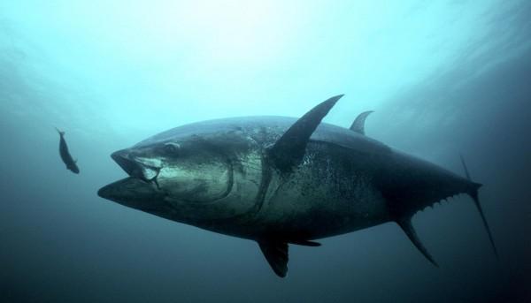 Bluefin Tuna (IMAGE)