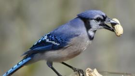 Blue Jay (IMAGE)