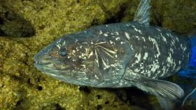 Picture of the Coelacanth Latimeria (IMAGE)