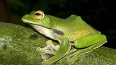 Helen's Flying Frog