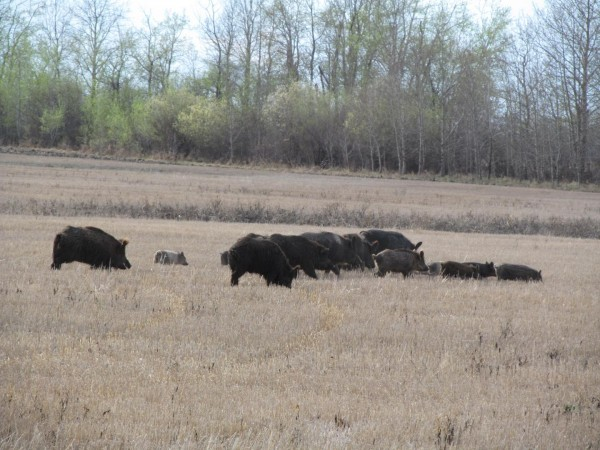 Wild Pigs Foraging in Saskatchewan, Canada (IMAGE)
