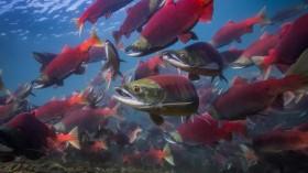 Adult Sockeye Salmon (IMAGE)