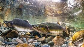 Pink Salmon (IMAGE)