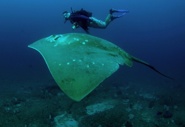 Diver and Smalleye Stingray (IMAGE)
