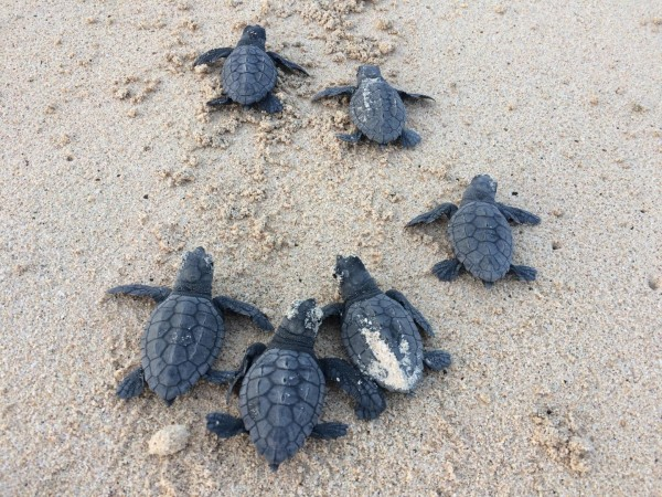 Loggerhead Turtles (IMAGE)
