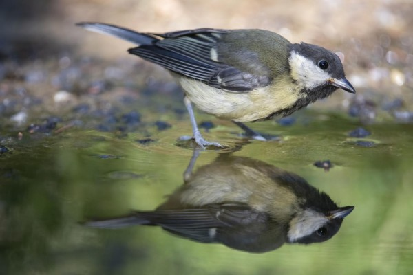 Small Bird Wading in Water (IMAGE)