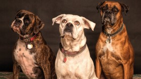 Why Choosing Food Carefully for Senior Dogs Is Important?