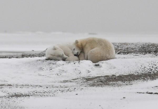 Polar Bears (IMAGE)