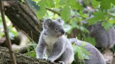 Koala (IMAGE)