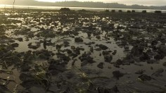 Oysters on Willapa Bay (image)