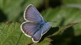 British Blue Butterfly