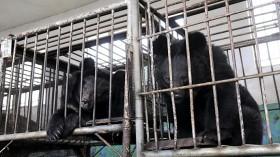 Bear in Bile Duct Farm in China