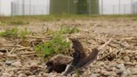 Nathusius' Bat (Pipistrellus nathusii) Killed by a Wind Turbine